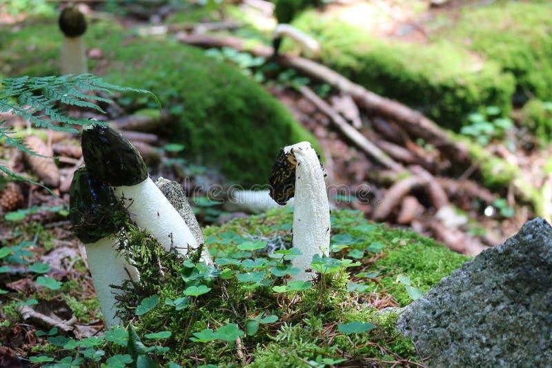 Svamp gemensam stinkhorn i naturlig miljö royaltyfria bilder