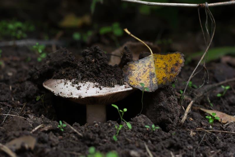 Svampen växer i skogen, det bryter till och med jorden Närbild royaltyfri fotografi