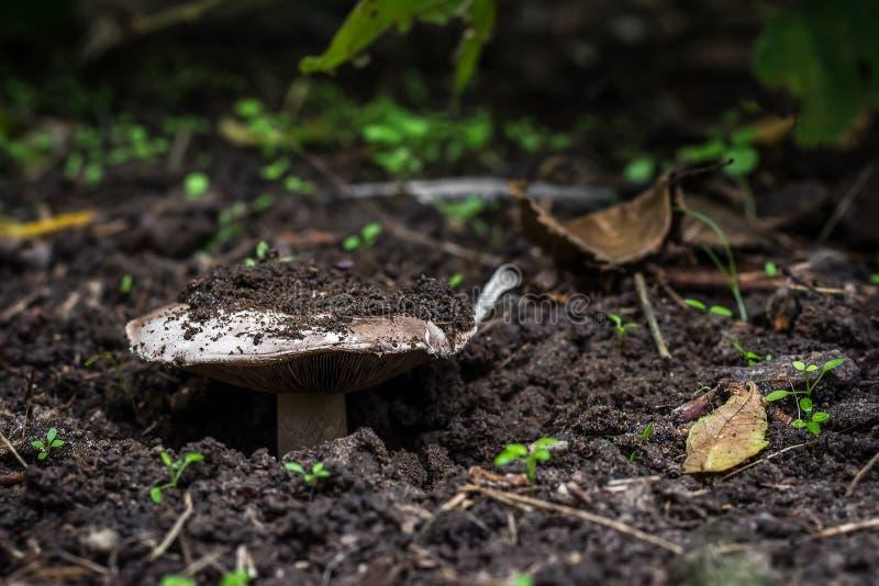Svampen växer i skogen, det bryter till och med jorden närbildsikt från jordningen arkivfoto