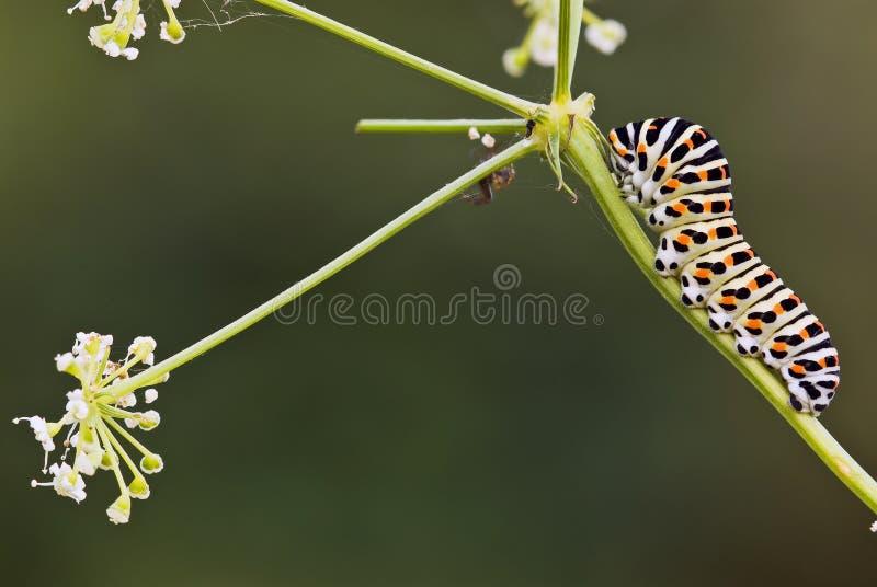 svan för fjärilscaterpillarsvala royaltyfri fotografi