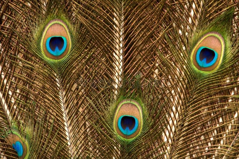 svan för fotografi för fjäderguldpåfågel arkivbilder