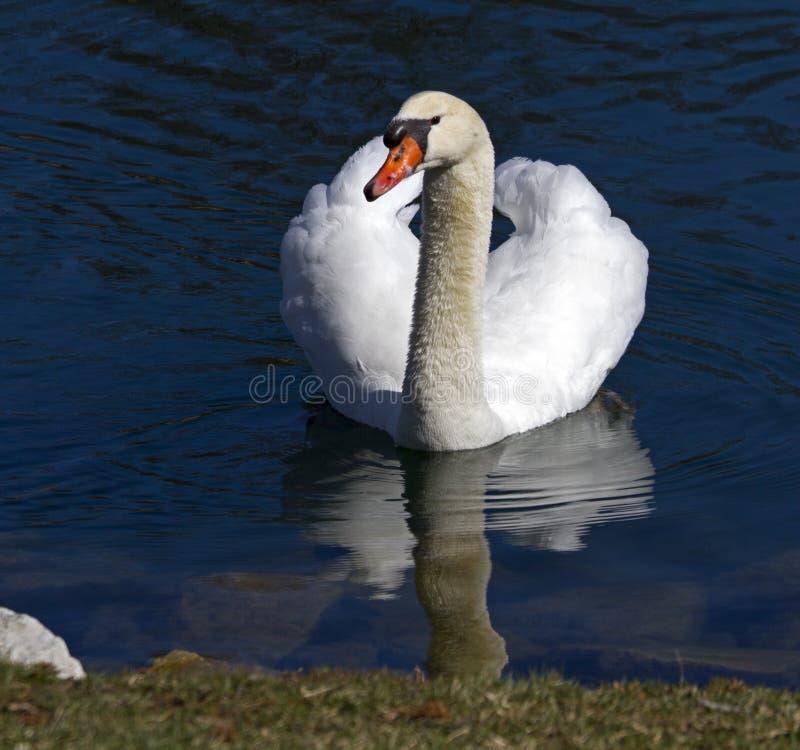 Svan i den härlighet för ` s på en sjö royaltyfria foton