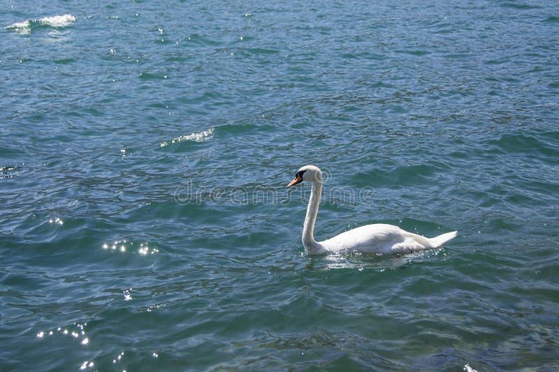 Svan i en blå sjö royaltyfri bild