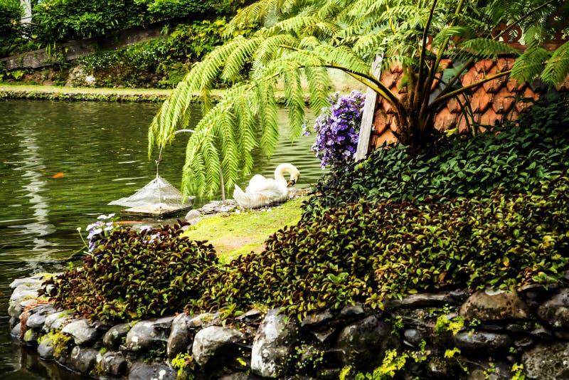 Svan i en härlig trädgård på Monte ovanför den Funchal madeiran royaltyfri bild