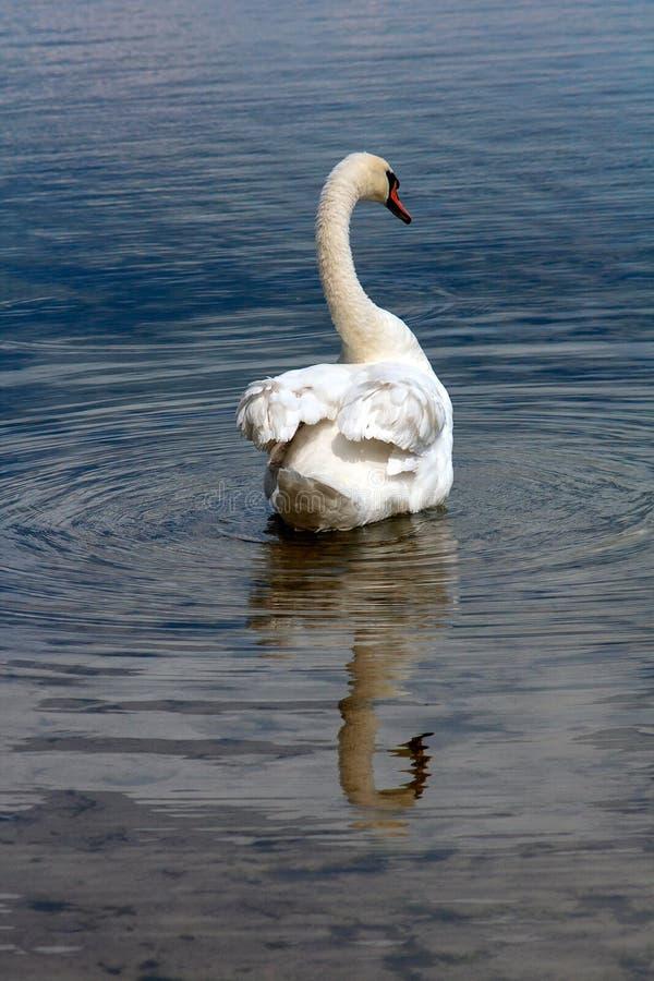 Svan i sjön royaltyfri foto