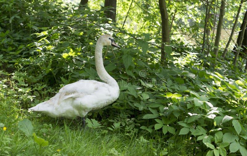 Svan i skoggräs på sommar natur djur royaltyfria bilder