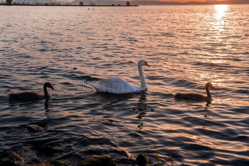 Svan med fågelungar på sjön på solnedgången royaltyfri fotografi