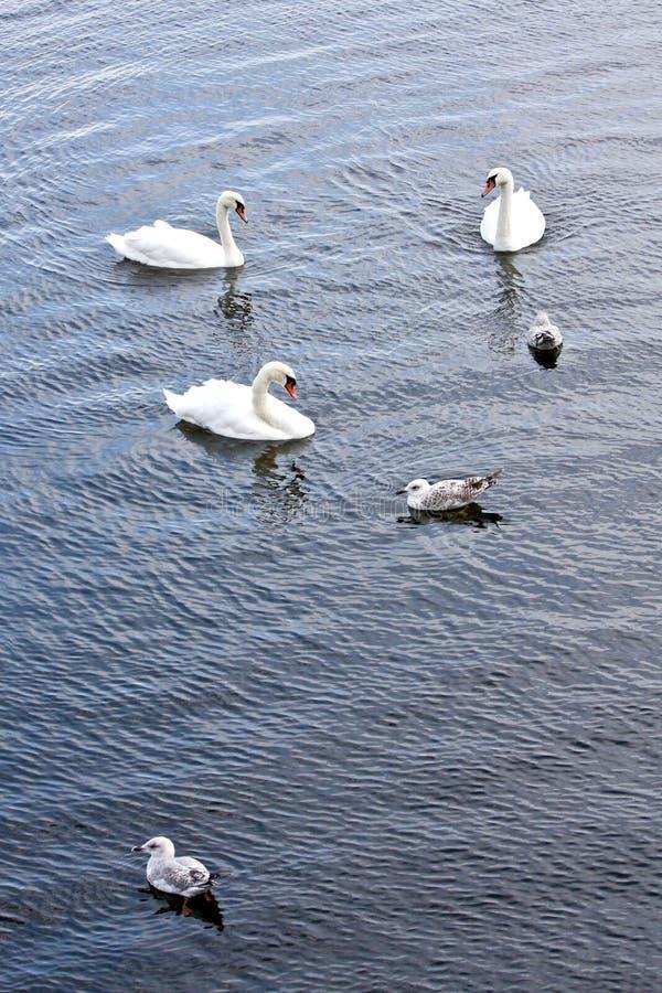 Svan med fiskmåsar på en flod i Irland royaltyfria bilder