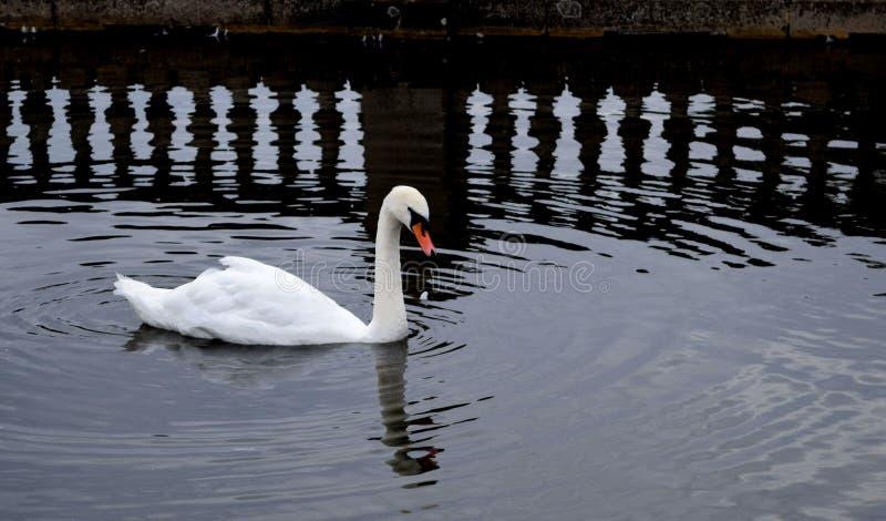 Svan och refelctions fotografering för bildbyråer