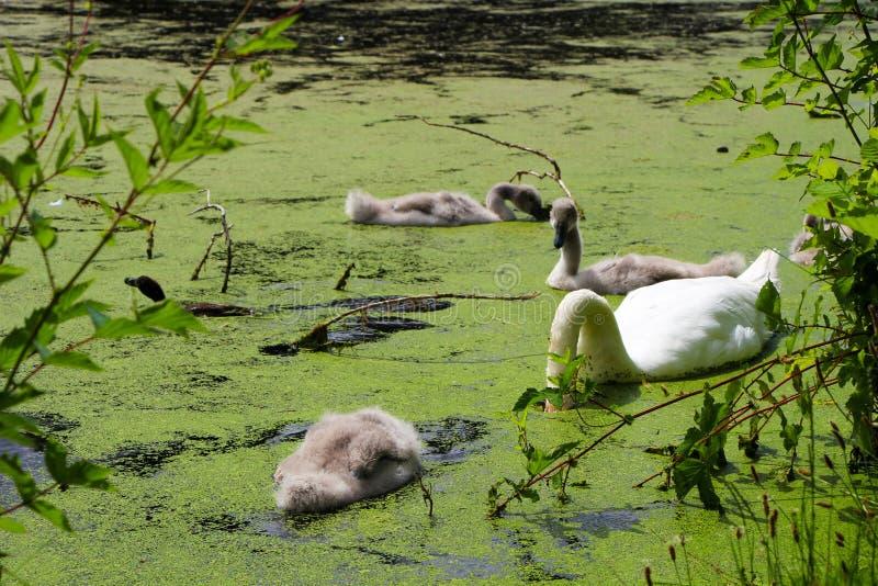 Svan och unga svanar i en sjö royaltyfri bild