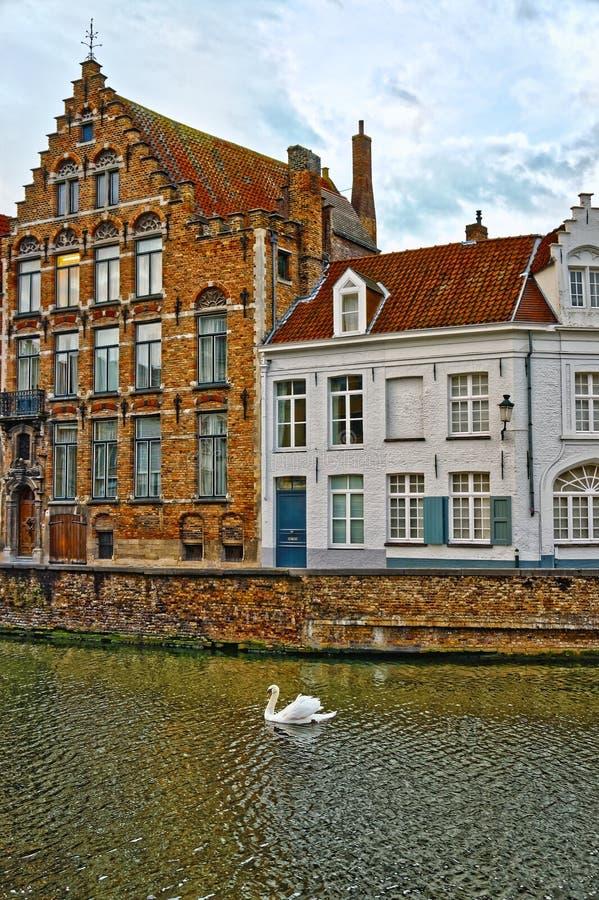 Svan på kanaler av Bruges, Belgien royaltyfri fotografi