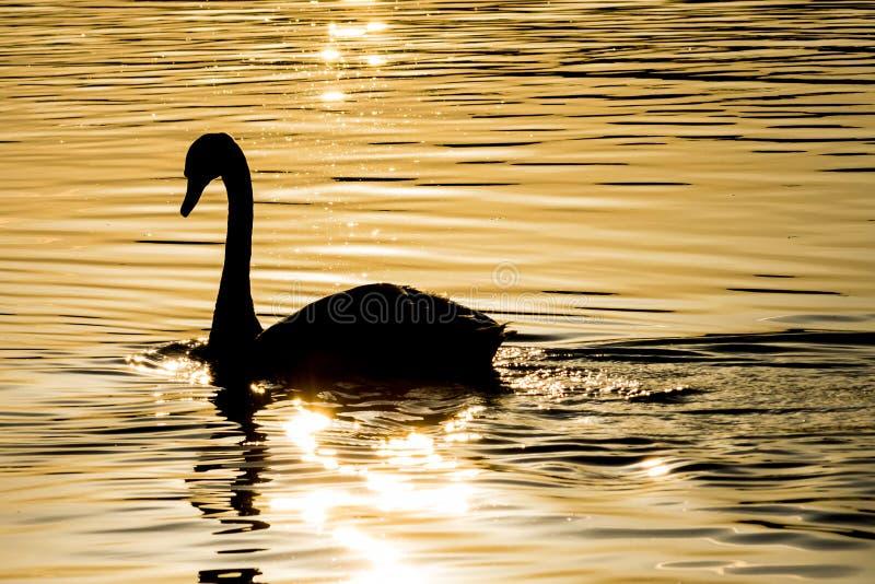 Svan på sjön royaltyfri bild