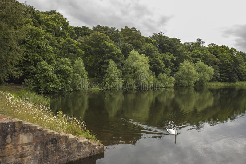 Svan på sjön på Nostell priorskloster, Wakefield royaltyfri bild