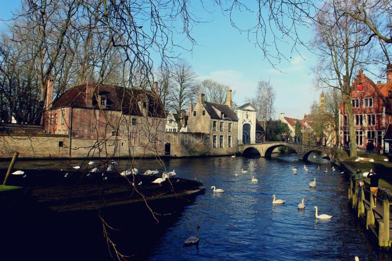 Svan sjö i Brugge, Belgien arkivbild