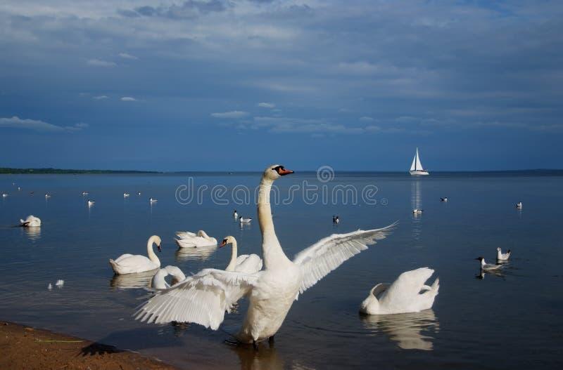 Svan sjö i sanatoriumviten Ryssland royaltyfria foton