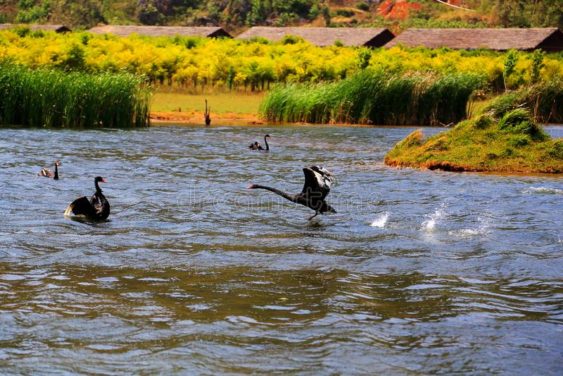 Svan sjön i Puzhihe sceniskt område royaltyfri fotografi