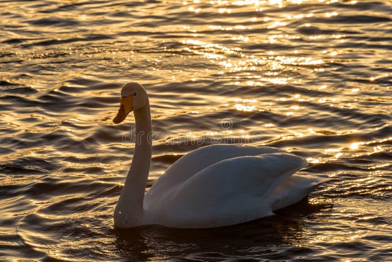 Svan solnedgång för fåglar för sjövinter royaltyfri foto