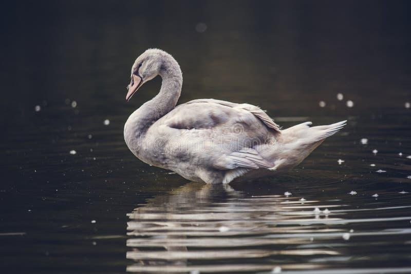 Svan som reflekterar på vatten royaltyfri foto