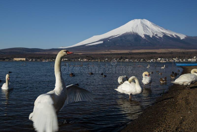 Svan som viftar med vingar och Mount Fuji, Japan royaltyfri foto