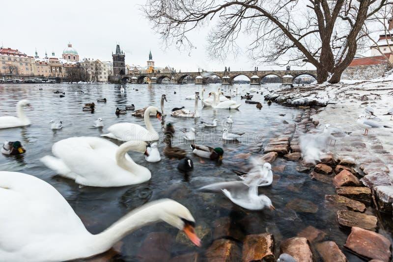 Svanar, änder och fiskmåsar i floden av Vltava under vinter arkivbilder