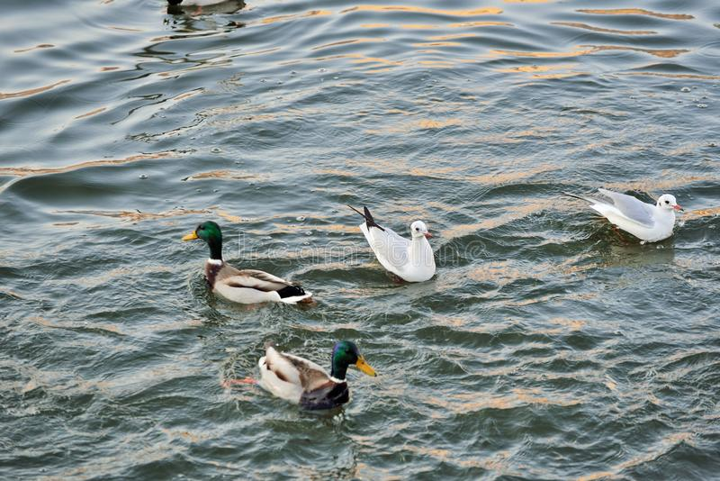 Svanar, änder och fiskmåsar på floden fotografering för bildbyråer
