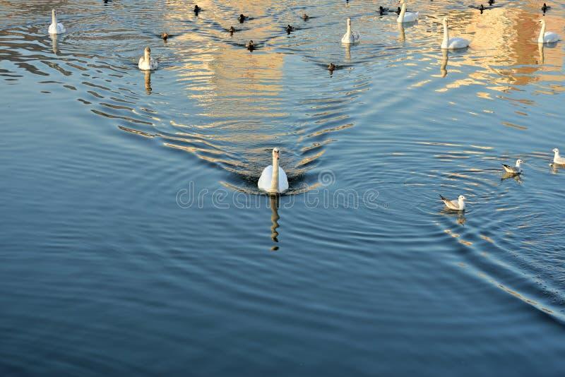 Svanar, änder och fiskmåsar på floden royaltyfria foton