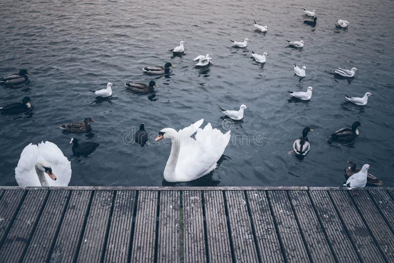 Svanar, änder och fiskmåsar på sjön royaltyfria bilder