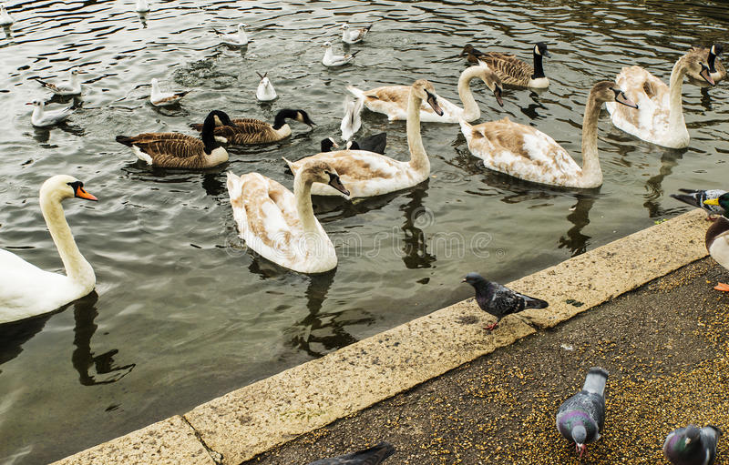 Svanar, fiskmåsar och änder som simmar i Hyde Park arkivbilder