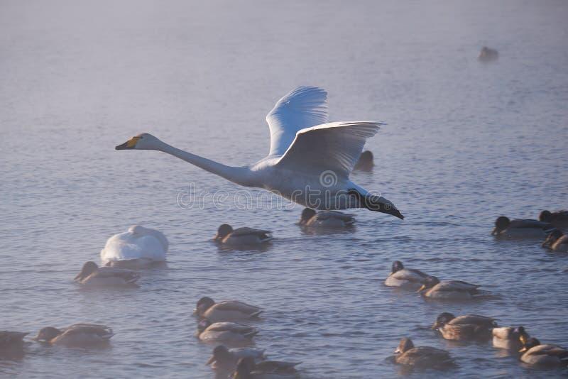 Svanar flyger i mist på altaisjön Svetloe arkivfoto