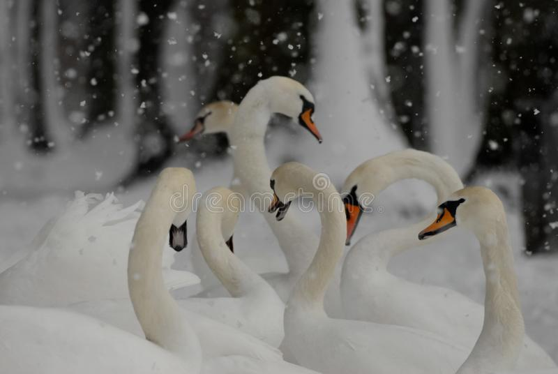 Svanar i den insnöade vintern, medan snöa royaltyfria bilder
