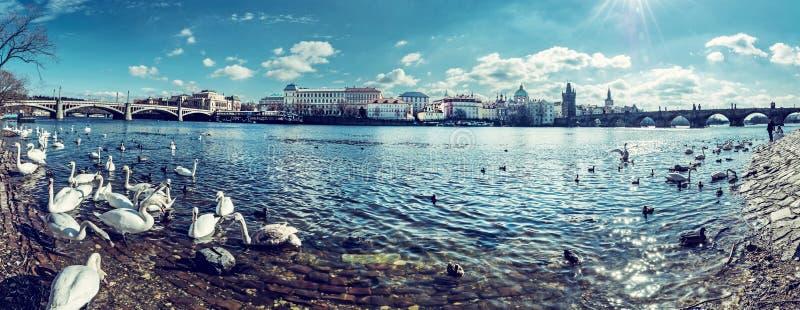 Svanar i den Vltava och Charles bron i Prague, panorama fotografering för bildbyråer