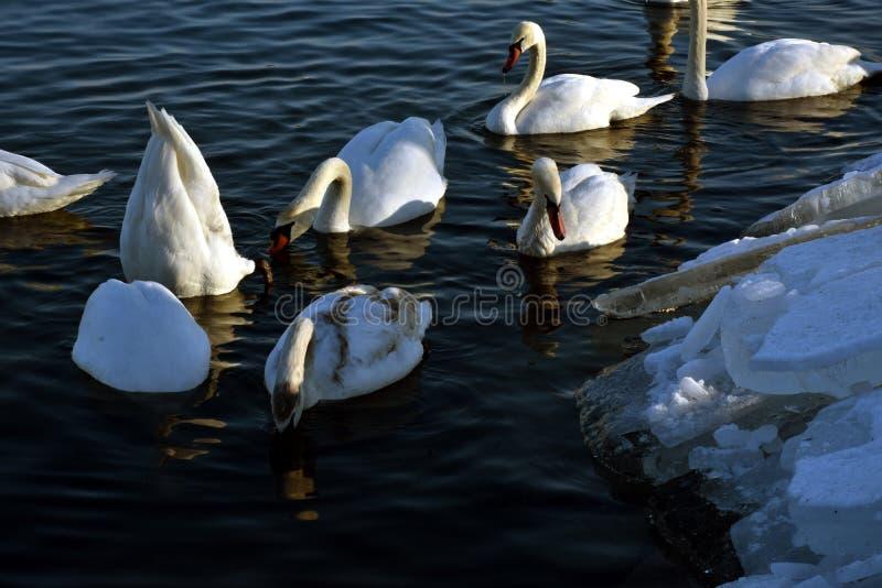 Svanar och deras vattenaktiviteter fotografering för bildbyråer
