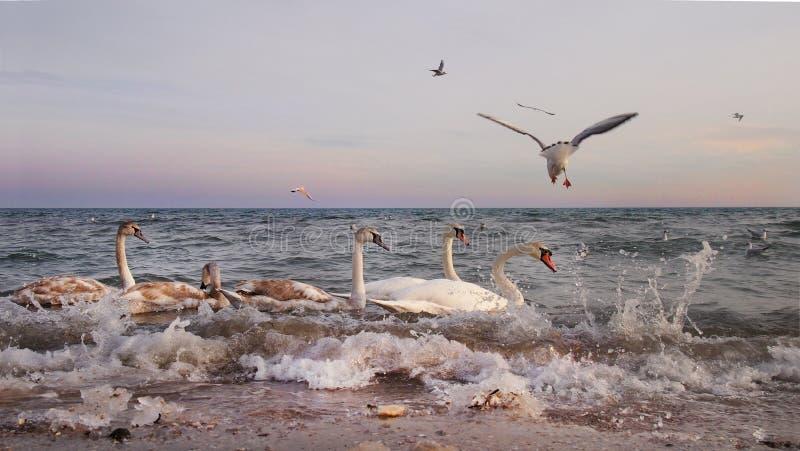 Svanar och fiskmåsar i havet på solnedgången royaltyfria bilder
