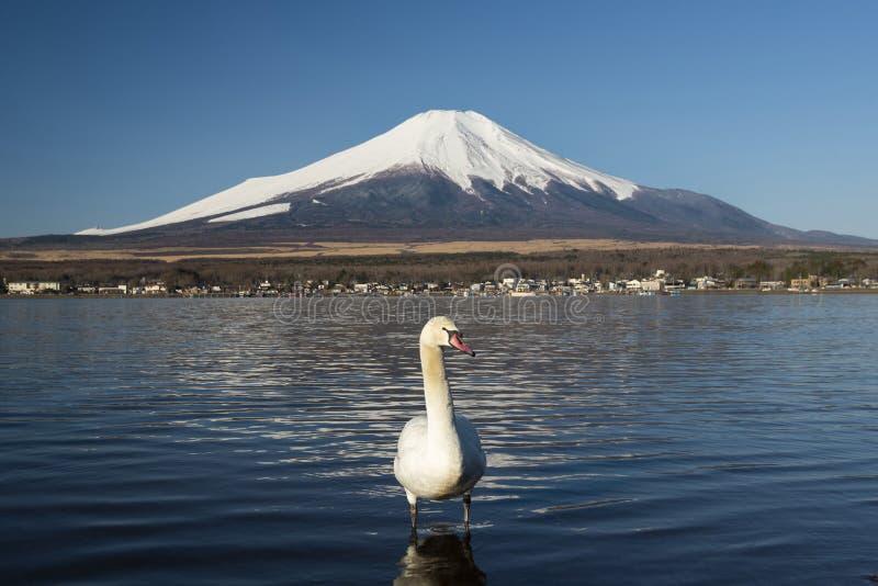 Svanar och Mount Fuji i sjön Yamanaka, Japan royaltyfri bild