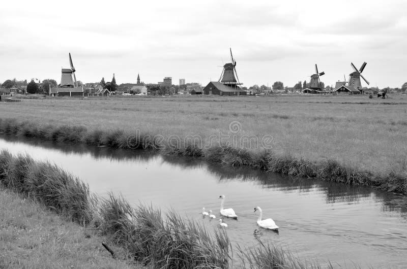 Svanar och väderkvarnar Holland royaltyfria bilder