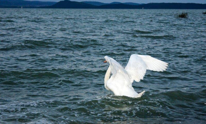 Svanar på Balaton sjön royaltyfri fotografi