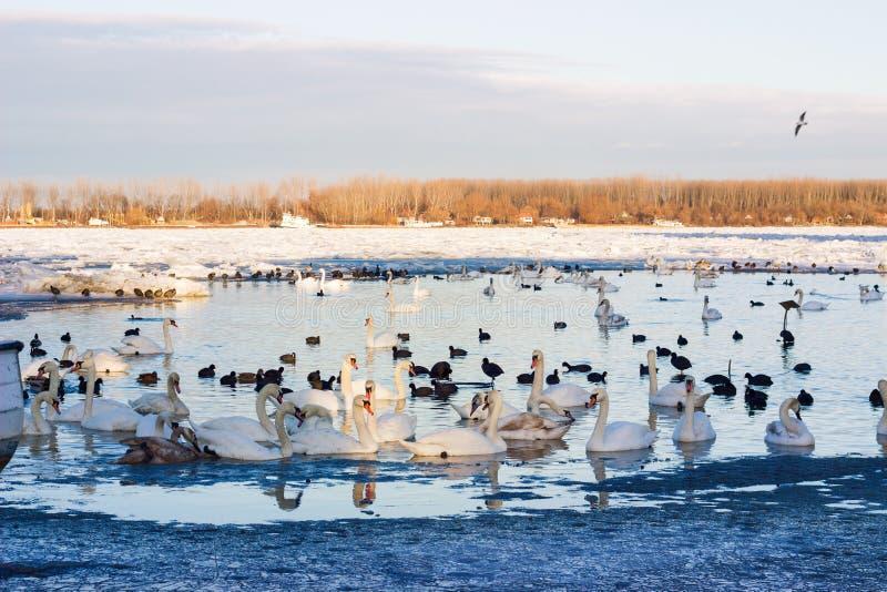 Svanar på Danube River royaltyfria foton