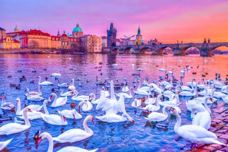 Svanar på den Vltava floden, Charles Bridge på solnedgången i Prague, Tjeckien royaltyfria bilder