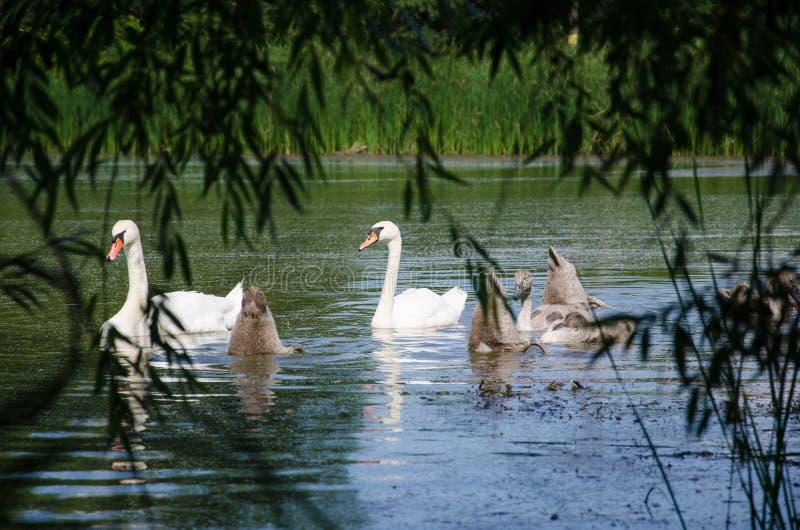 Svanar på sjön i den öppna luften parkerar arkivbild