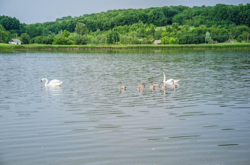 Svanar på sjön i den utomhus- öppna luften arkivfoto