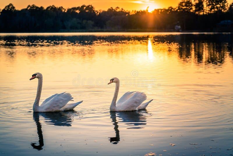 Svanar på solnedgång sjön arkivfoton