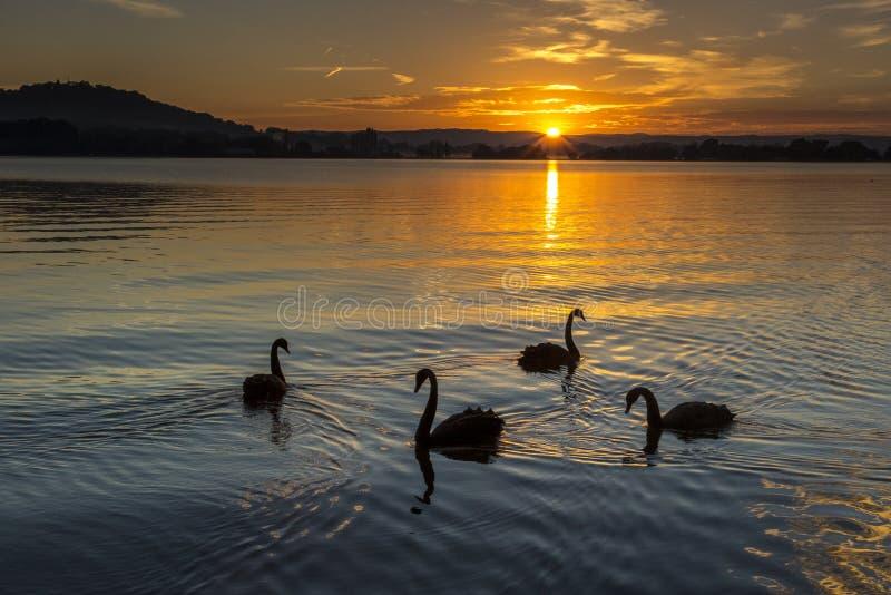 Svanar på soluppgång royaltyfri bild