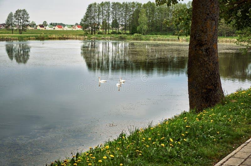 Svanar simmar i ett lantligt damm mot bakgrunden av byhus royaltyfri fotografi