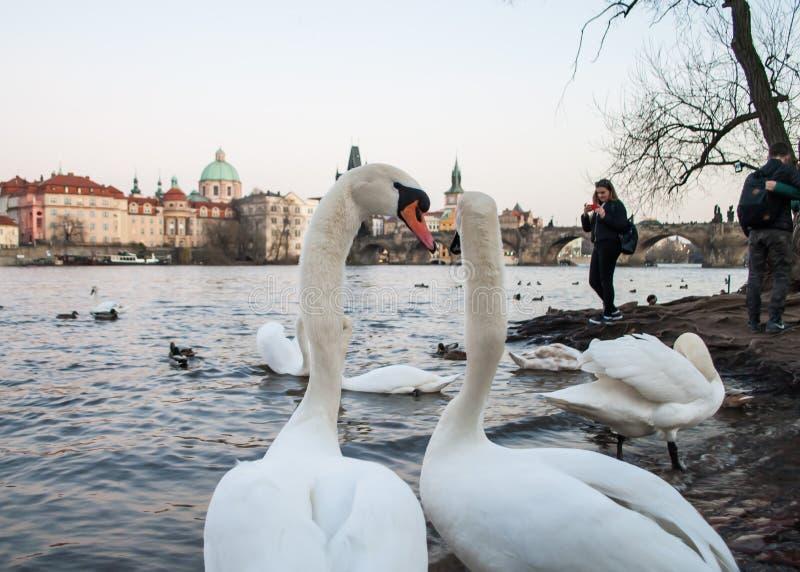 Svanar som står på bankerna av den Vltava floden och ser den gamla staden av Prague, i aftonskymningen arkivfoton