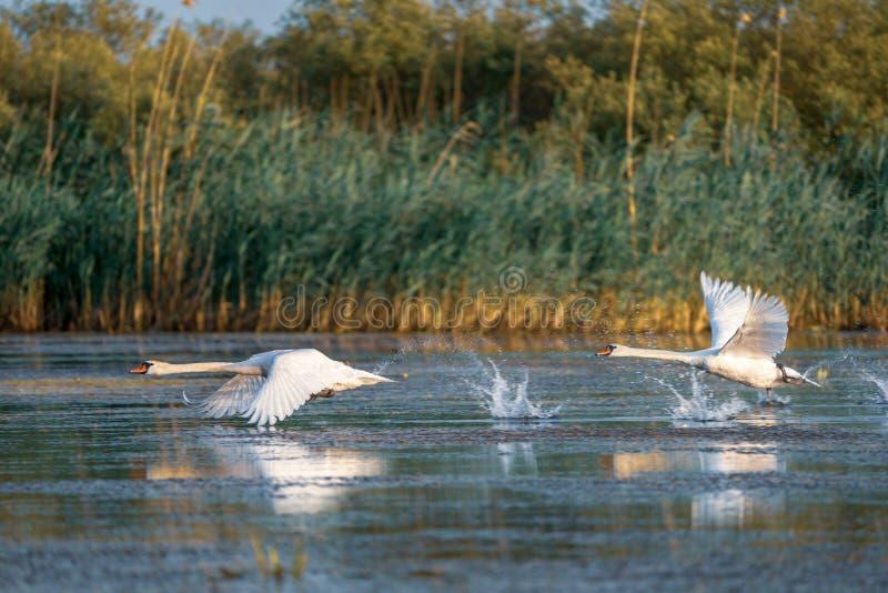 Svanar tar av och flyget över vatten i Donaudeltan som är romani royaltyfri fotografi