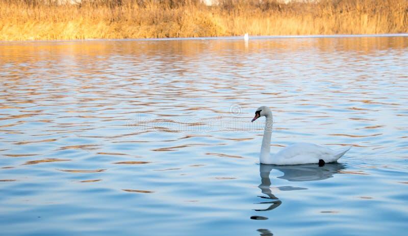 Svanbad i den blåa floden royaltyfri bild