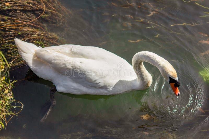 Svanen är stora - den storleksanpassade vattenfågeln, med en genomsnittlig vingbredd av mellan 155 och 250cm beroende av arten -  royaltyfri fotografi