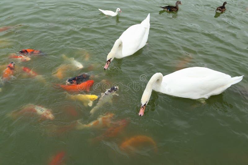 Svanen och anden med koi fiskar simning i dammet arkivfoton