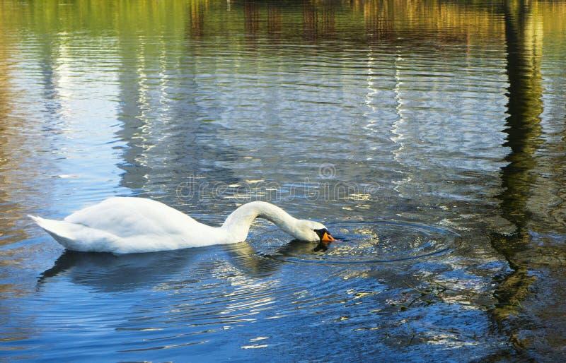 Svanen simmar och dricker på sjön i höst royaltyfri fotografi