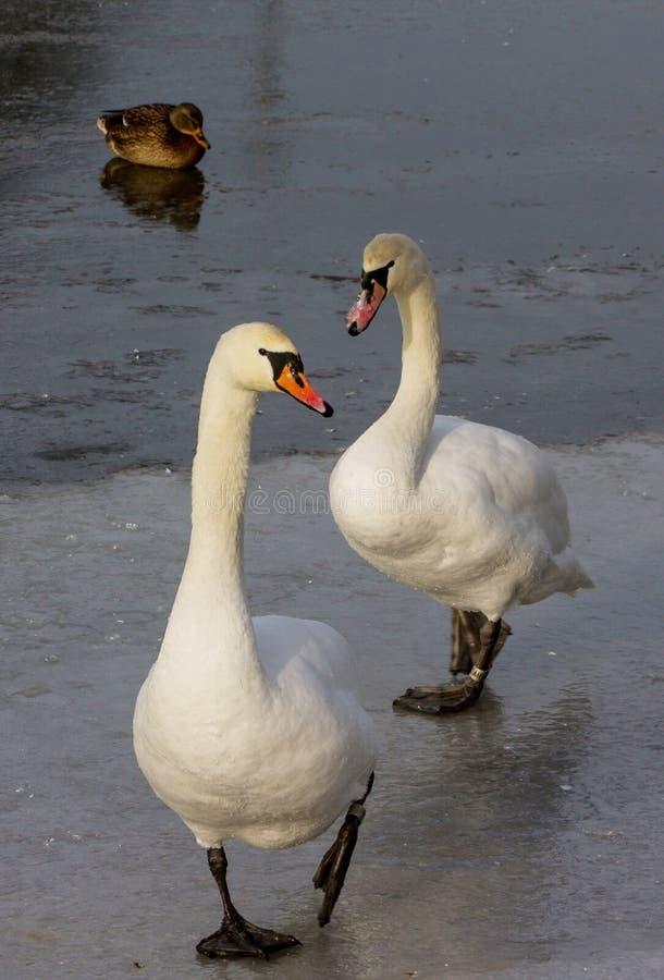 Svanfågel i vinter på en djupfryst sjö arkivfoton